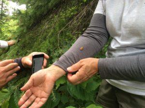 Adult spruce budworm moths
