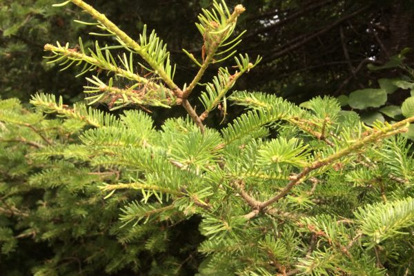 close up of needles with spruce budworm damage