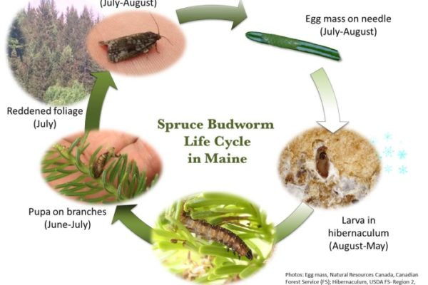 diagram of spruce budworm life cycle in Maine