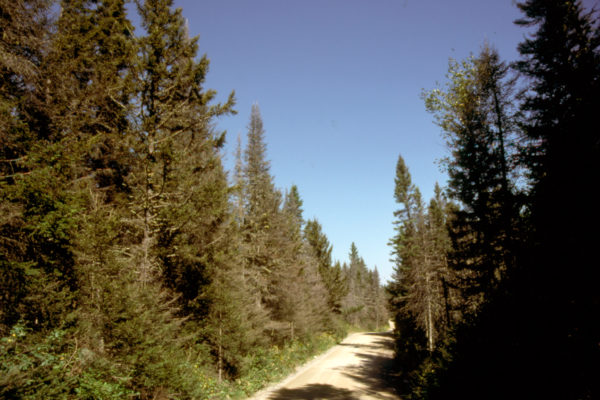 spruce budworm damaged trees along forest road