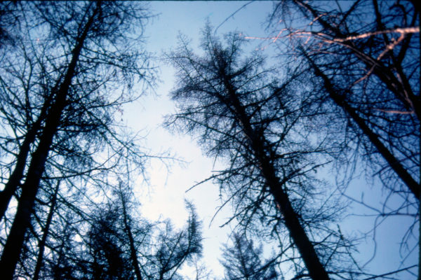 Photo of treetops damaged by spruce budworm