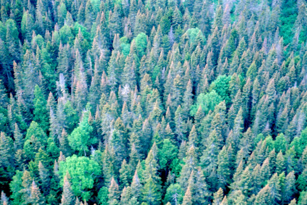 Aerial photo of mixed wood forest stand with dead soft wood