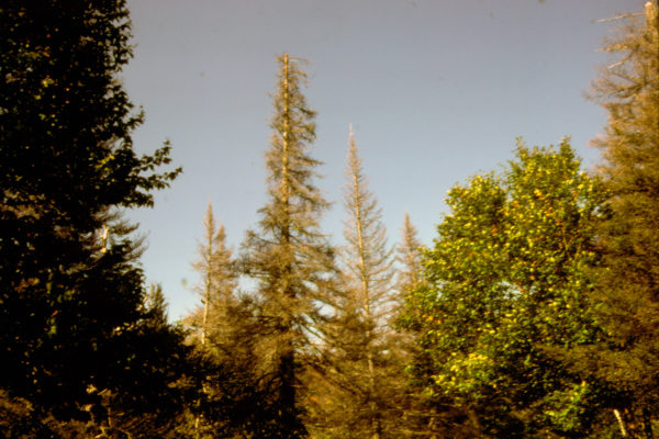Photo of dying red spruce trees