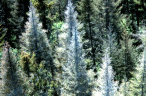 Photo of dead trees from spruce budworm