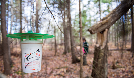 photo of spruce budworm trap