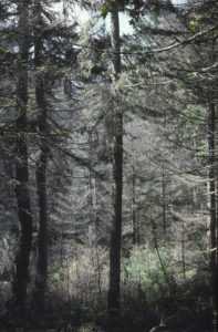 photo of trees damaged by spruce budworm on Elephant Mountain in Rockwood, ME