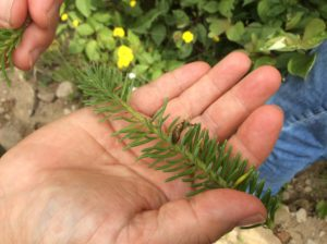 Photo of spruce budworm pupa