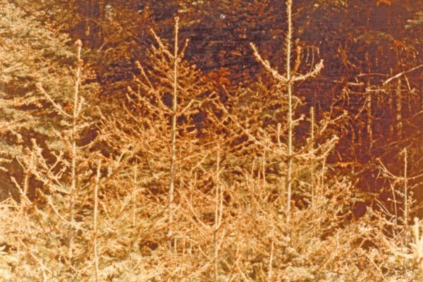 trees damaaged by spruce budworm in the 1970-80s