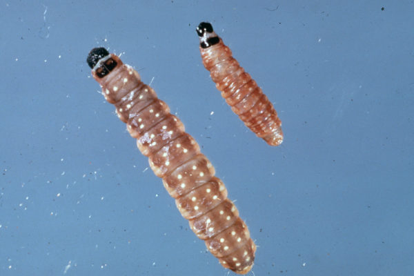 Photo of two budworms