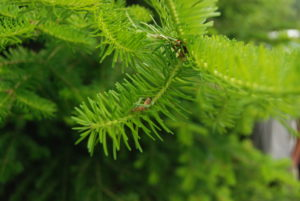 Photo of spruce budworm larvae in Quebec.