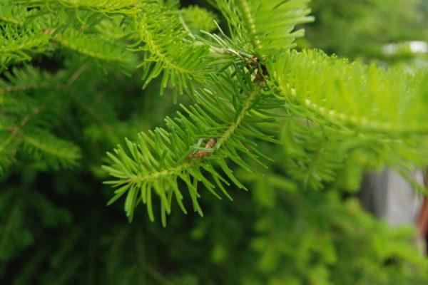 Photo of spruce budworm larvae in Quebec.