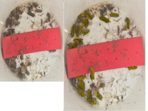 Side by side photos of spruce budworm moths with spruce budworms highlighted in yellow on right side.