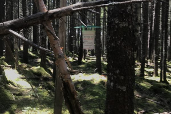 Photo of budworm trap hanging in woods