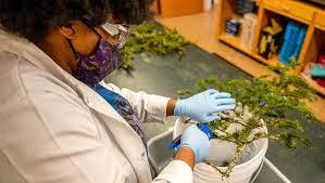 lab person analyzing spruce budworm larvae